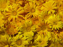 Marigold flowers. Carpet of orange marigold flowers stock photography