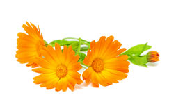 Marigold flowers close up. Calendula flower on a white background Royalty Free Stock Photos