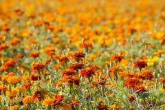 Marigold flowers Stock Photography