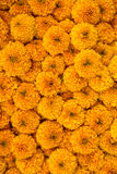 Marigold flowers close-up background Royalty Free Stock Images