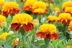 marigold flowers Royalty Free Stock Image