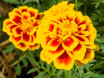 Marigold flowers close up Royalty Free Stock Images