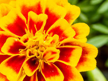 Marigold flowers close up Stock Image