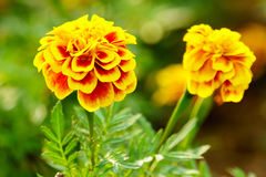 Marigold flowers close up Royalty Free Stock Photography