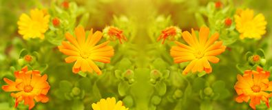Marigold flowers close up on the meadow. Blooming garden. Summer floral panoramic pattern.  royalty free stock photography