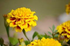 Marigold flowers Stock Photo