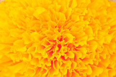 Marigold Flowers Royalty Free Stock Photo