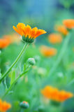 Marigold flowers closeup Royalty Free Stock Image