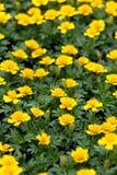 Marigold Flowers Closeup Stock Photos