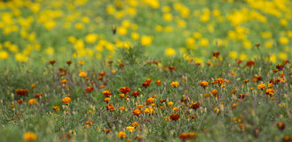 Beautifu Marigold Flowers in the Field Royalty Free Stock Photography