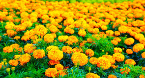 Marigold flowers field Royalty Free Stock Image