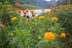 Marigold  flowers field Royalty Free Stock Photos