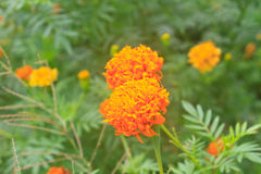 Marigold  flowers field Stock Images