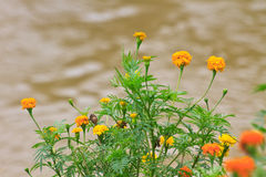 Marigold  flowers field Stock Image