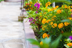 Marigold flowers flowerbed Royalty Free Stock Photo