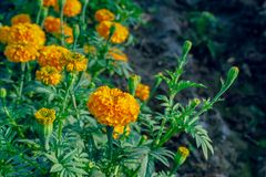 Marigold flowers in the full flowering area.  stock images