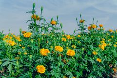 Marigold flowers in the full flowering area.  royalty free stock photo