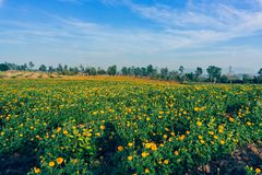 Marigold flowers in the full flowering area.  royalty free stock image