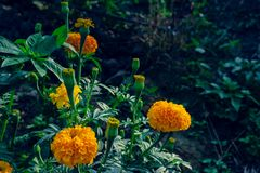 Marigold flowers in the full flowering area.  stock image