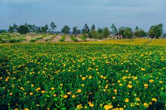 Marigold flowers in the full flowering area.  royalty free stock images