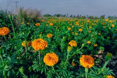 Marigold flowers in the full flowering area.  stock photo