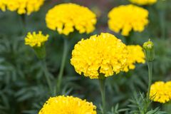 Marigold flowers in the garden Royalty Free Stock Photos