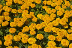 Marigold flowers garden Stock Images