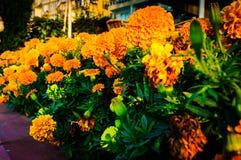 Marigold Flowers On A Garden Stock Photos