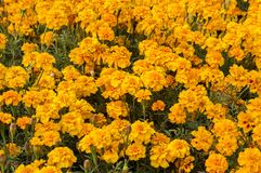 Marigold flowers in garden. The colors are yellow and green royalty free stock photography