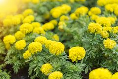 Marigold flowers in the garden at home. Beauty of nature and interior at home concept stock photos
