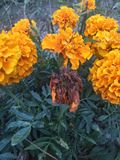 Marigold flowers at garden. Some marigold flowers at garden as a background stock photos