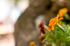 Marigold flowers in the garden on summer royalty free stock photos