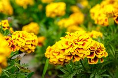 Marigold flowers in the garden on summer , yellow flowers ,beaut Royalty Free Stock Image