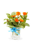 Marigold flowers in a glass vase isolated on white background. Stock Image