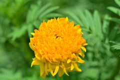 Marigold Flowers Royalty Free Stock Photography