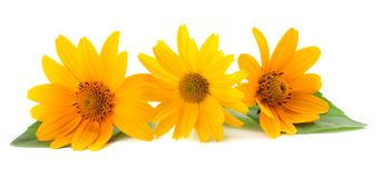 Marigold flowers with green leaf isolated on white background. Calendula flower stock images