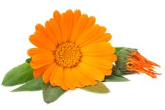 Marigold flowers with green leaf isolated on white background. calendula flower stock photos