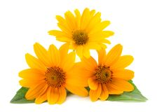 Marigold flowers with green leaf isolated on white background. Calendula flower royalty free stock photos