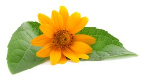 Marigold flowers with green leaf isolated on white background calendula flower stock images