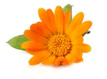 Marigold flowers with green leaf isolated on white background calendula flower royalty free stock photo