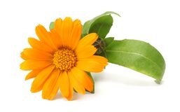 Marigold flowers with green leaf isolated on white background  calendula flower stock photos