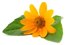 Marigold flowers with green leaf isolated on white background calendula flower stock photography