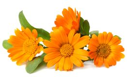 Marigold flowers with green leaf isolated on white background  calendula flower royalty free stock photography