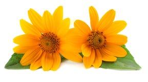 Marigold flowers with green leaf isolated on white background calendula flower stock photo