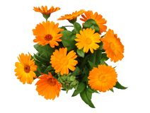 Marigold flowers with green leaf isolated on white background. calendula flower stock photo
