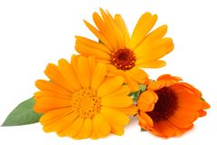Marigold flowers with green leaf isolated on white background. calendula flower stock image