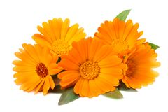 Marigold flowers with green leaf isolated on white background. calendula flower royalty free stock photography