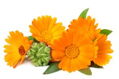 Marigold flowers with green leaf isolated on white background. calendula flower royalty free stock photo
