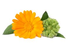 Marigold flowers with green leaf isolated on white background. calendula flower royalty free stock image