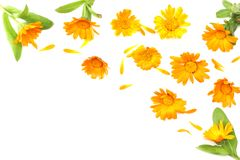 Marigold flowers with green leaf isolated on white background. Calendula flower top view stock images